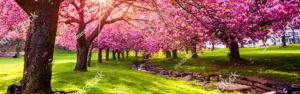 Cherry tree blossoms in full bloom in sunny park