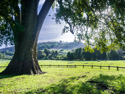 Laurel tree in a sunny, green California meadow