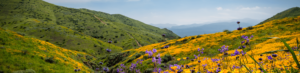 Poppies and wildflowers in bloom on a California hillside
