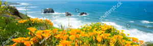 Orange poppies in bloom overlooking the ocean